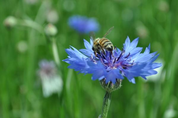 青い花蜂12.JPG